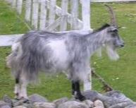 Sulten geit ser med lengsel på kålåker